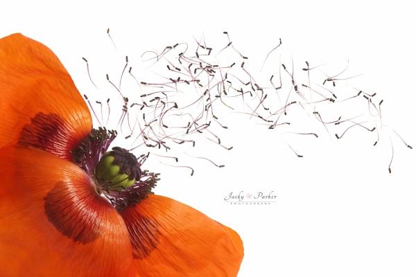 Oriental Poppy by jackyp