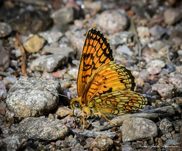 Butterfly. by Jukka