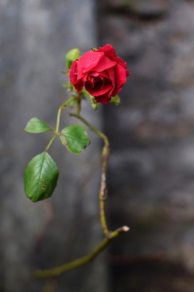 Rose by PCarman