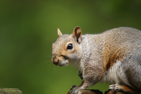 Squirrel by Rich1970
