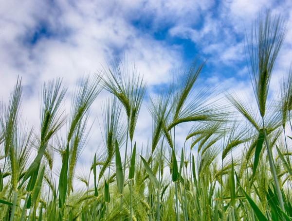 Early Summer Barley by Telematt