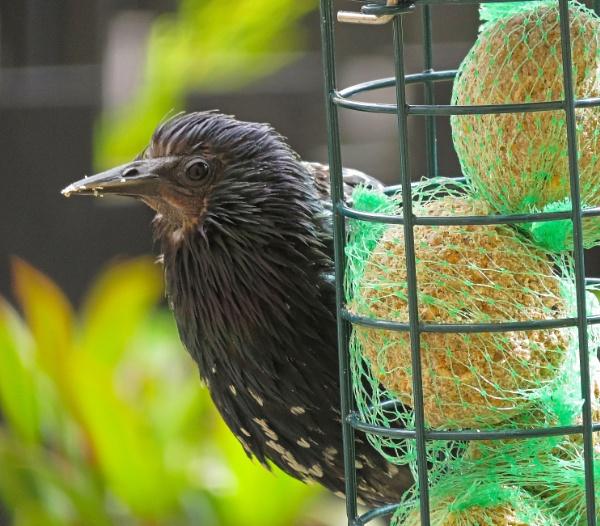 Feeding Starling by Umberto_V