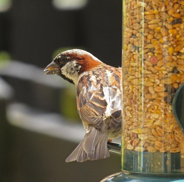 Sparrow by Umberto_V