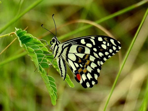 butterfly by gautamc
