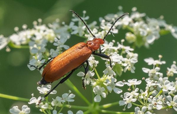Soldier beetle by Jerrin