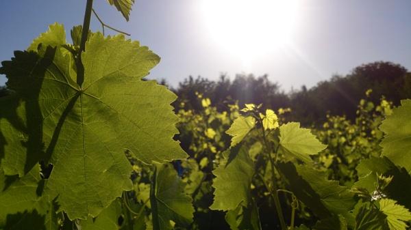 future grapes(; by immortal213