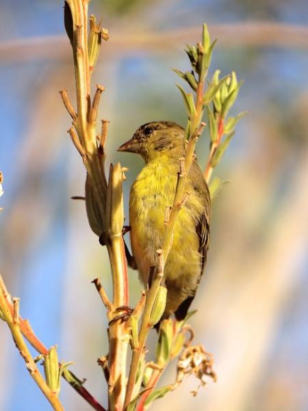 lesser goldfinch by bwarnke