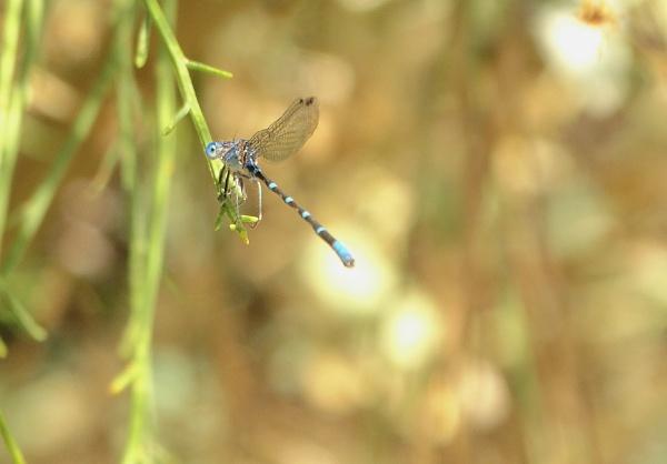 blue dragonfly by bwarnke