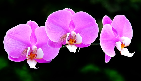 """Orchid\"". by adrianedwa"