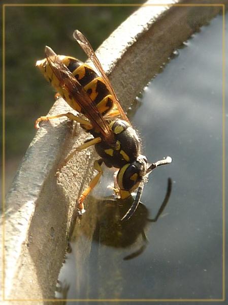 thirsty wasp by CarolG