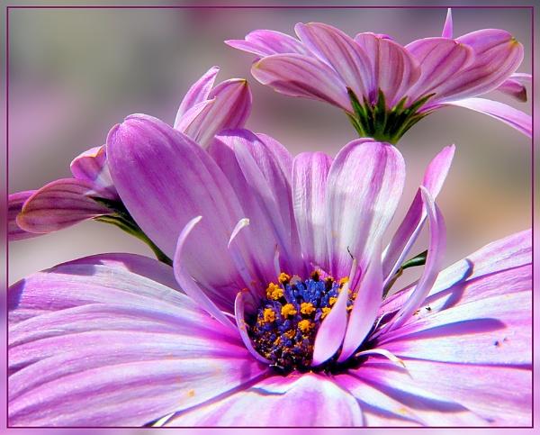 Osteospermum by Sylviwhalley