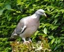 Pigeon by cjl47