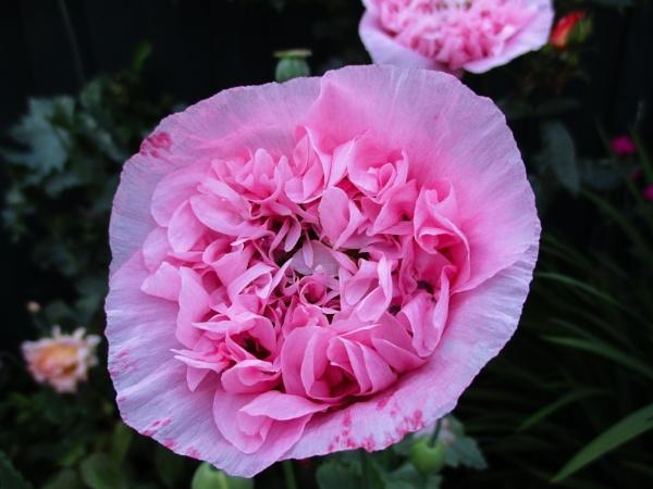 Pink Poppy by ELLISON58