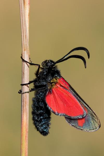 Cinnabar Moth (Tyria jacobaeae) by Ray_Seagrove