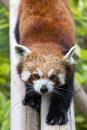 Red Panda @ Shepreth Wildlife Park by editfmah