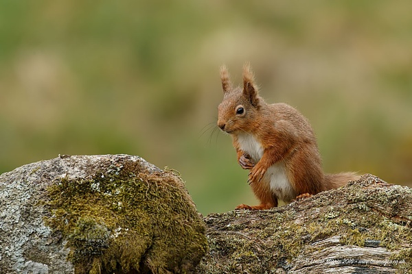 Red Squirrel by Louise_Morris
