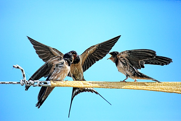 Barn Swallows by PatriciaWilson