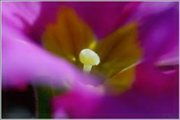 Light on Primula