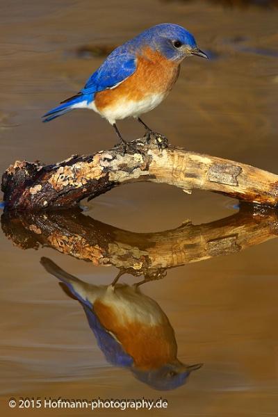 Eastern Bluebird early morning by drbird