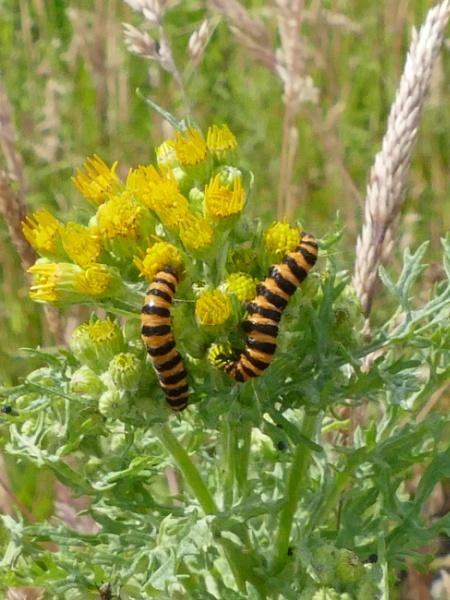 Cinnabar Moth Caterpillars by Ted447