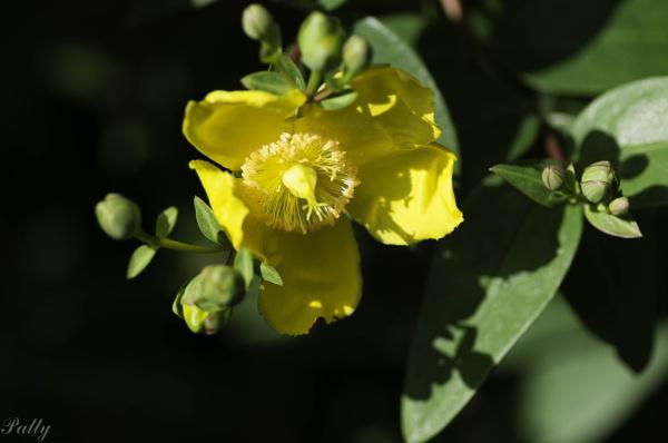 Hypericum  flowers by pentaxpatty