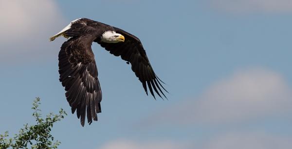 Bald Eagle (Kayla) by 10delboy