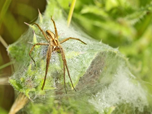 Nursery-web spider. by bobpaige1