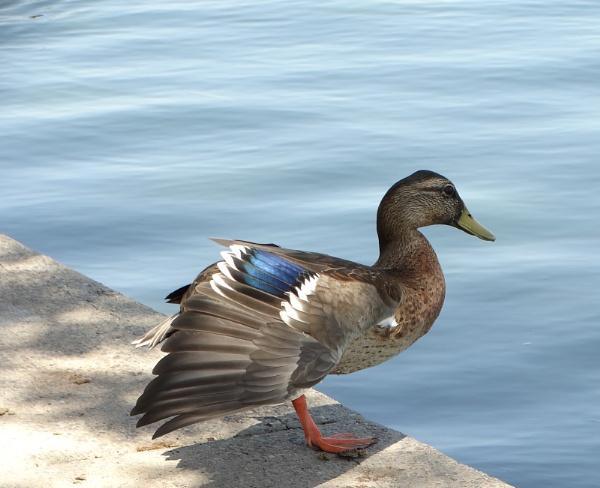 duck by bwarnke