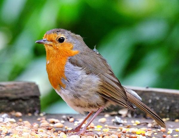 "\""A Robin in July\"". by adrianedwa"