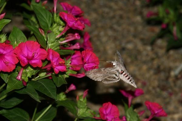 Hawk Moth feeding - Abruzzo Italy by Johnpt
