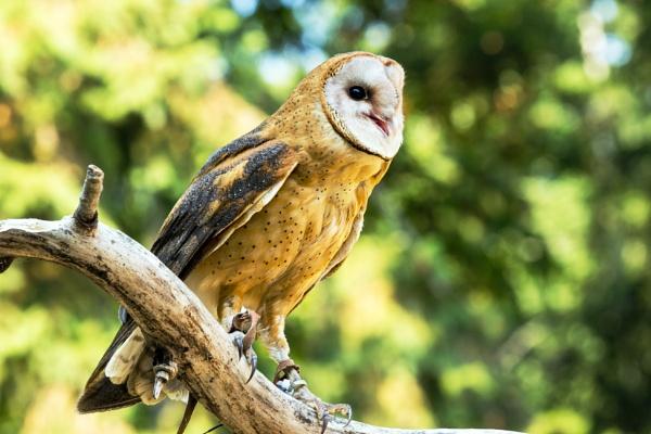 Barn Owl by Johnpt