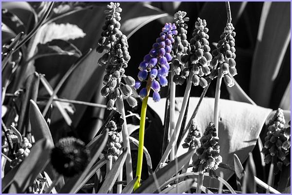 Grape Hyacinths by Johnpt