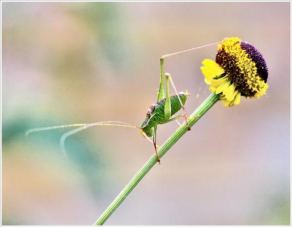 Bush-cricket. by bricurtis