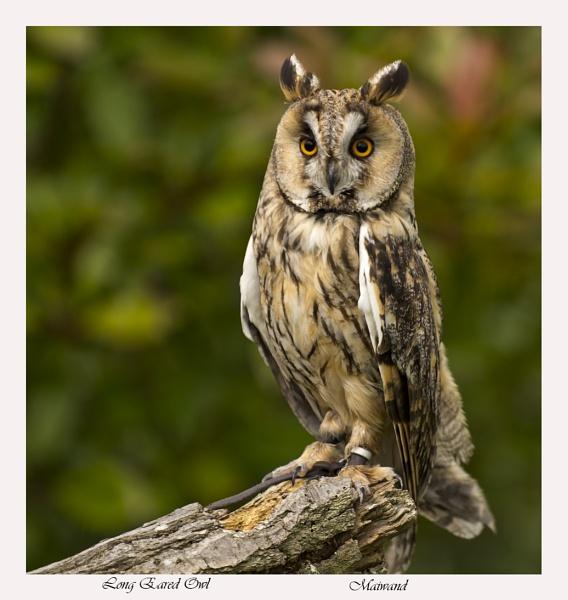 Long Eared Owl - Asio Otus by Maiwand