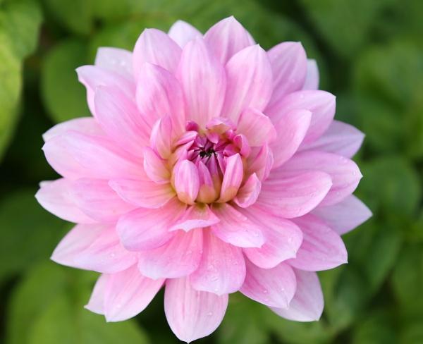 Pink Dahlia by Granddad