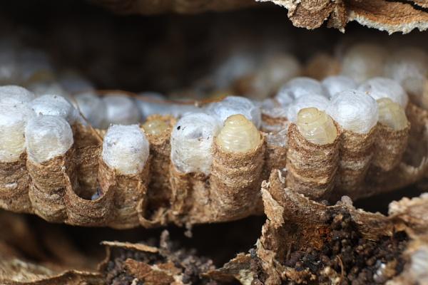 Wasp Larvae. by paulbroad