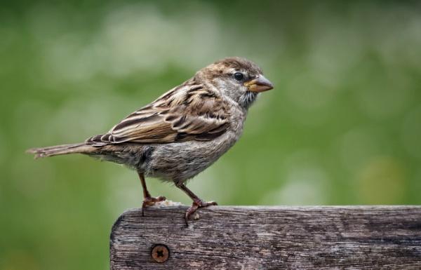 Juvenile House Sparrow by teepee
