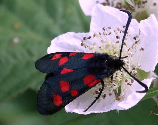 burnett moth by sandy22