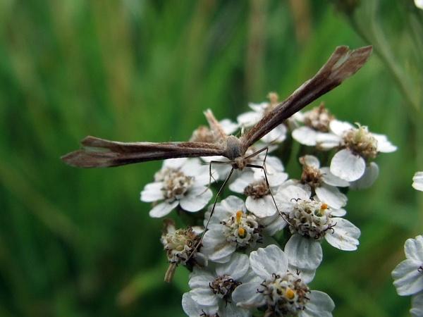 angel moth by sandy22