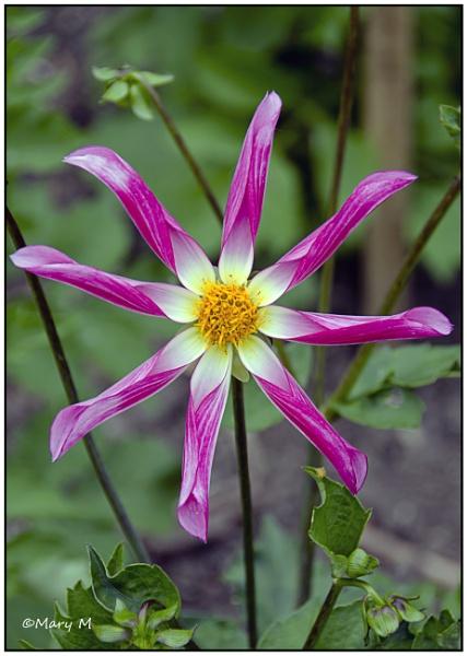 Pink Chrysanth by marshfam19
