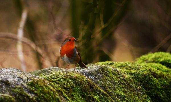 Robin by hughsey
