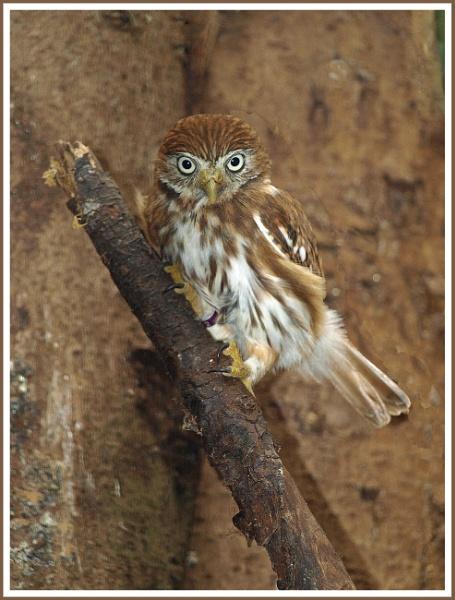 Ferruginous Pygmy Owl by fificat100