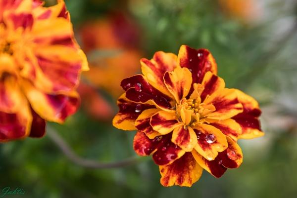 Marigolds by jaktis