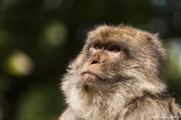 The Barbary macaque (Macaca sylvanus) by mohikan22