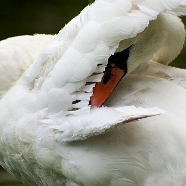 Swan by mommablue