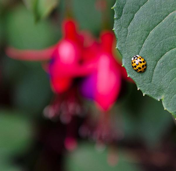 Ladybird by Alda