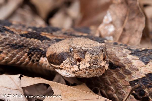 timber rattlesnake, canebrake rattlesnake (Crotalus horridus) - along the path Stoneville woods Mississippi by drbird