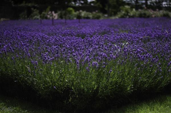 Lavender fields by pentaxpatty