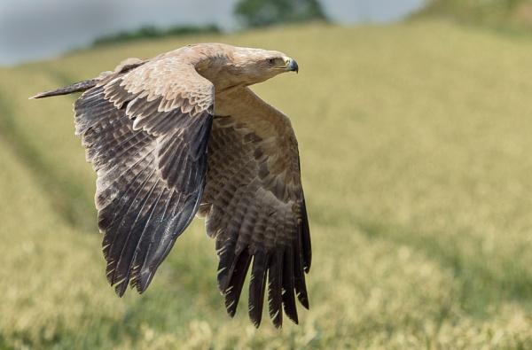 African Tawney Eagle. by 10delboy