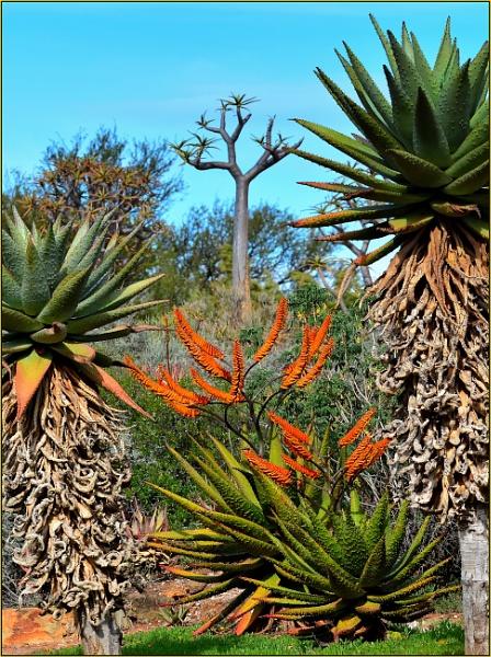 Candelabra Aloes by fotobee